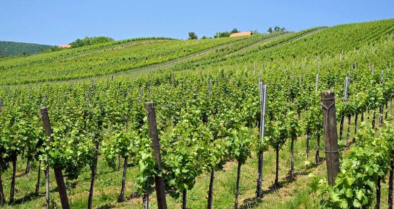 Plešivica Vineyards