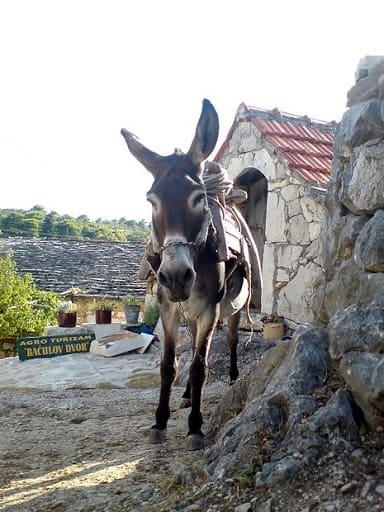 Asinus Donkeys